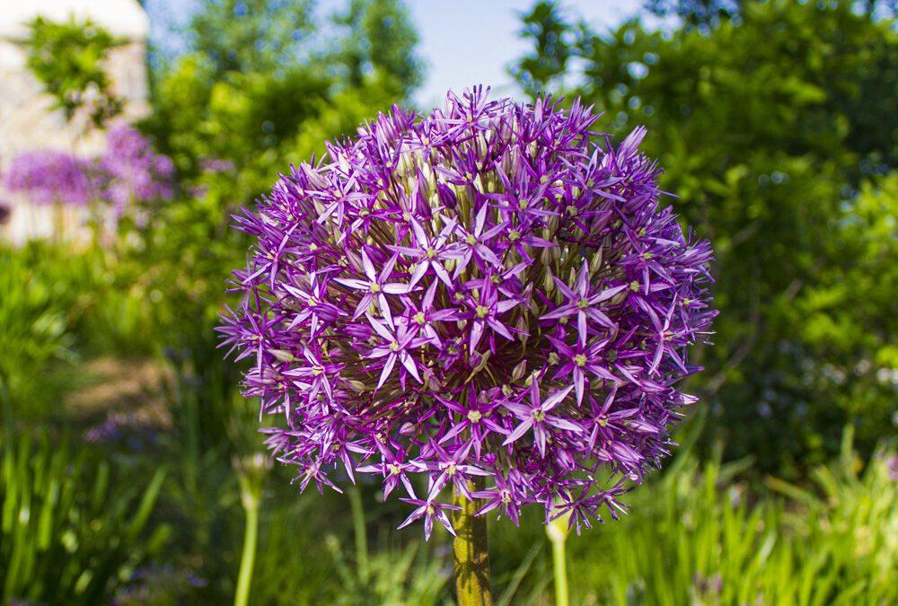 Allium x 'Globemaster'