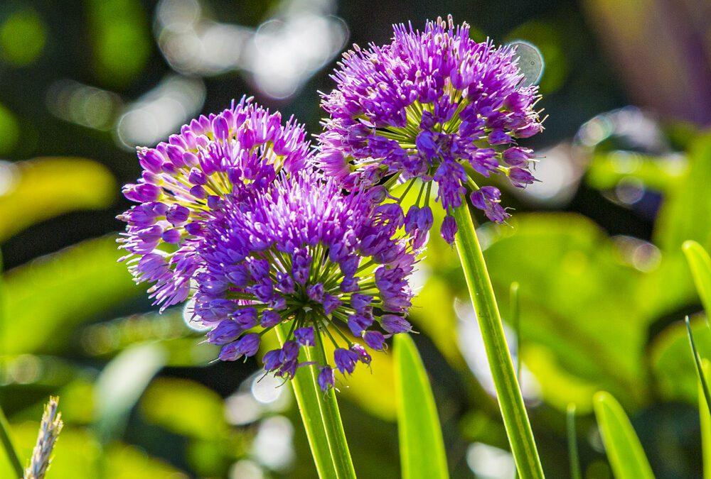 Allium x 'Millenium'