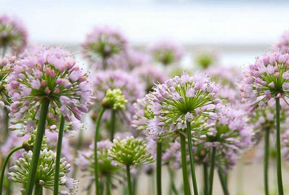 Allium x 'Summer Beauty'