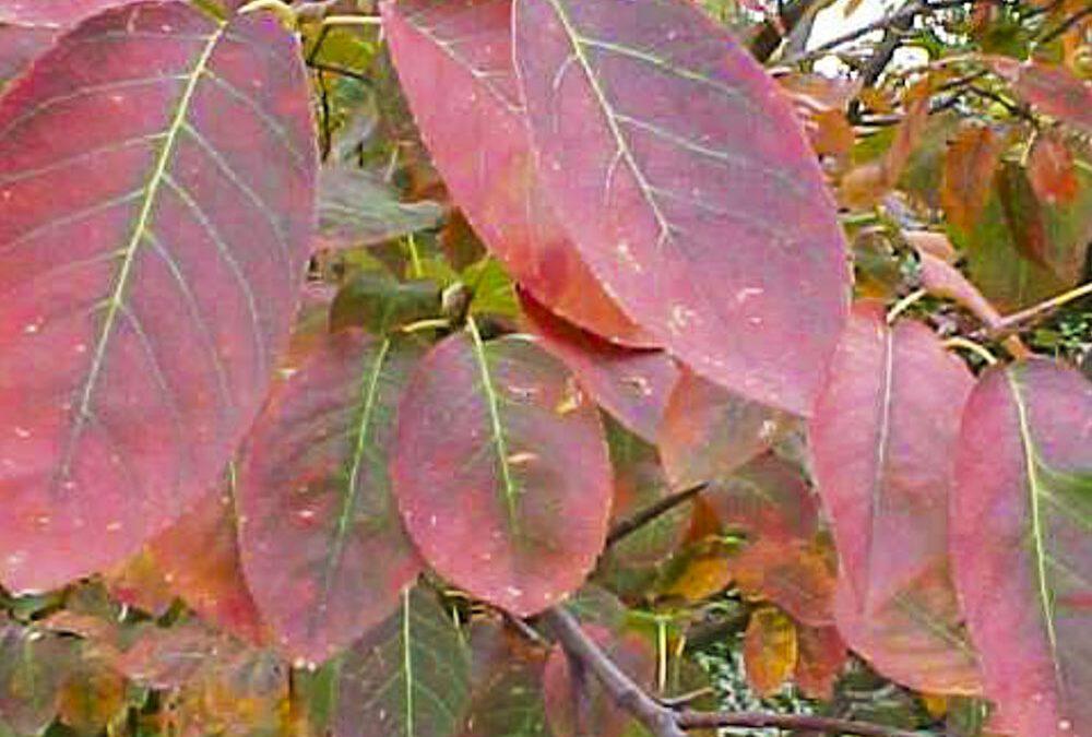 Amelanchier x Grandiflora 'Autumn Brilliance'