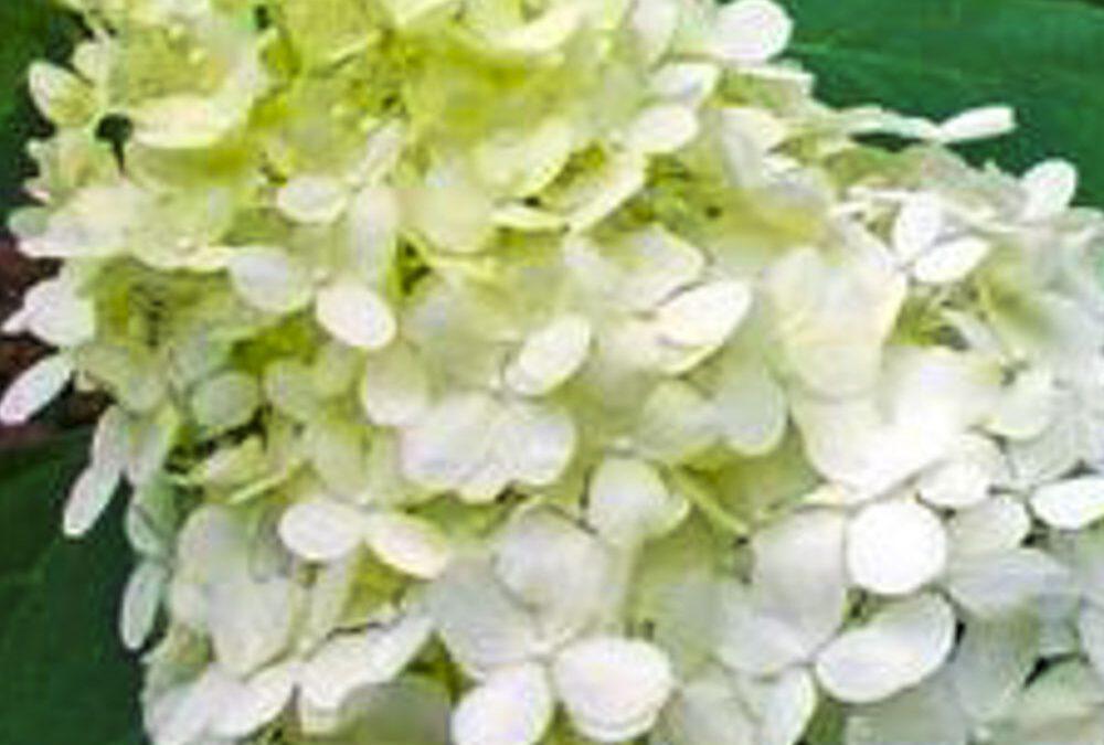 Hydrangea Paniculata 'Peewee'