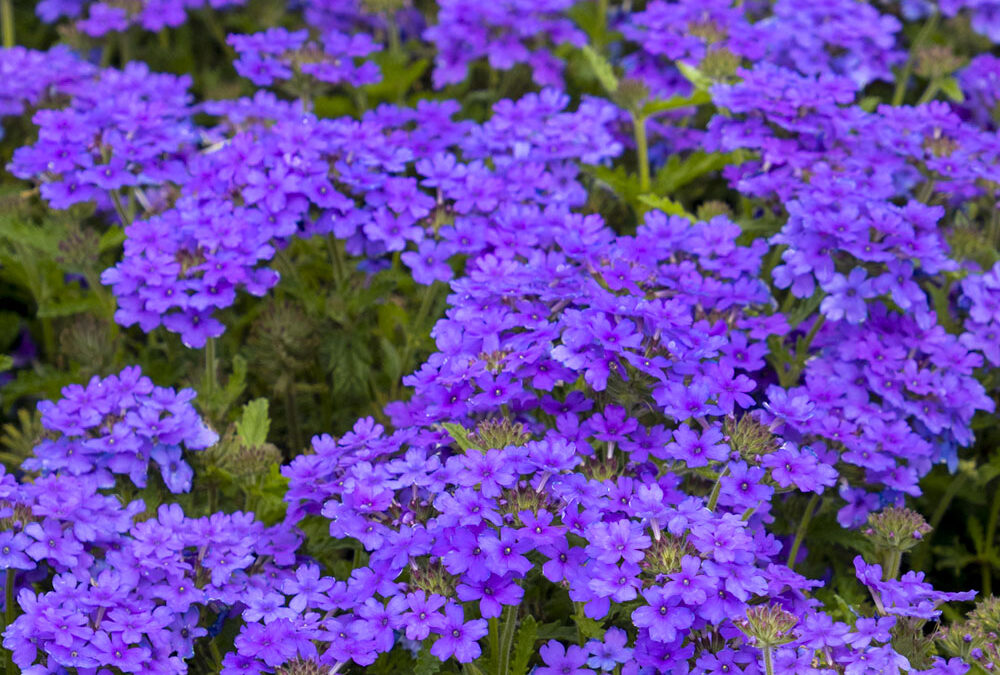 Verbena Endurascape 'Blue Improved'